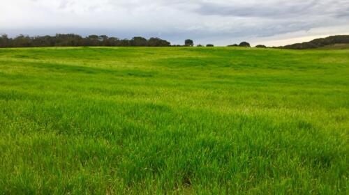 barley crop 2