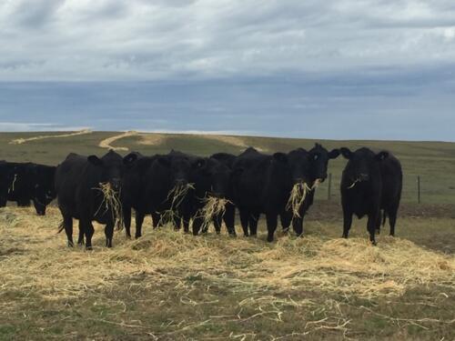 cows eating hay