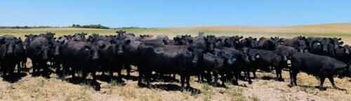 cows in paddock 2