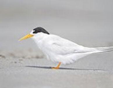 Orange Bellied ParrotFairy Terns