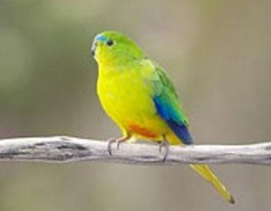 Orange Bellied Parrot